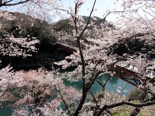 Sakurabuti_13