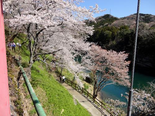 Sakurabuti_7