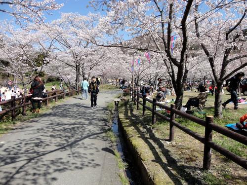 Sakurabuti_9