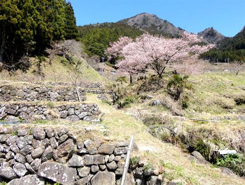 Sakura_a