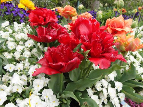 Tulip_11_3