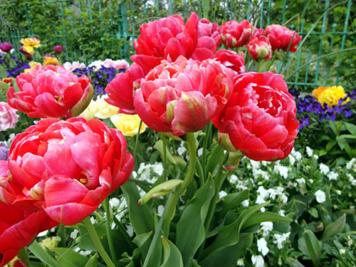 Tulip_14