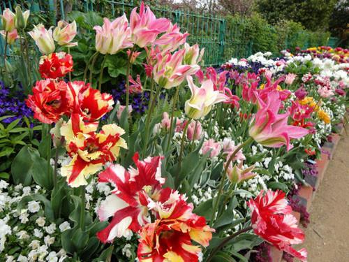 Tulip_15