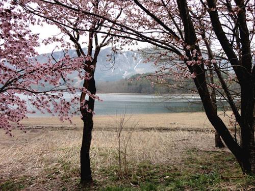 Aokiko_sakura