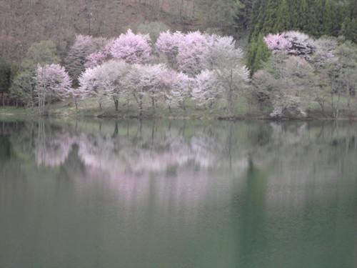 Nakatunako_sakura