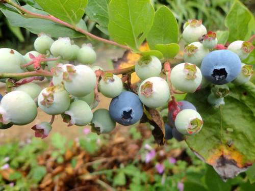 Blueberry_3