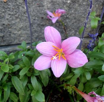 Zefiransasu_pink