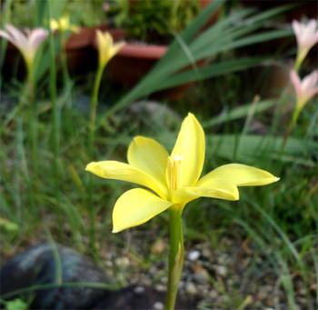 Zefiransasu_yellow